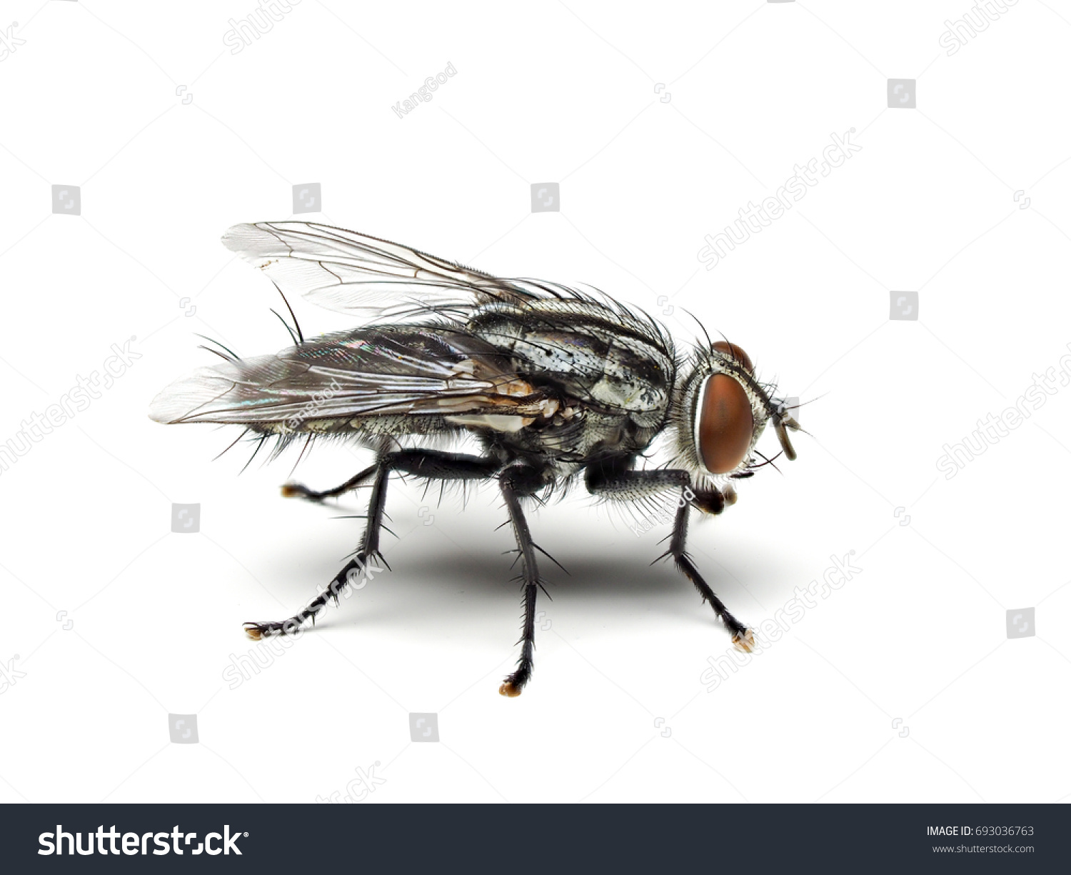 Housefly Fly Flies Isolated On White Stock Photo (Royalty Free ...