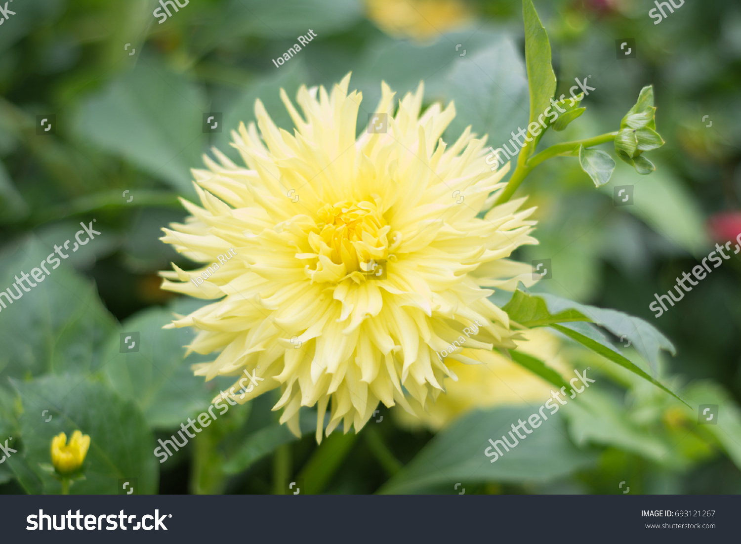 Colorful yellow dahlia flower amazing gentle stock photo edit now colorful yellow dahlia flower amazing and gentle dahlia flower isolated perfect image for izmirmasajfo