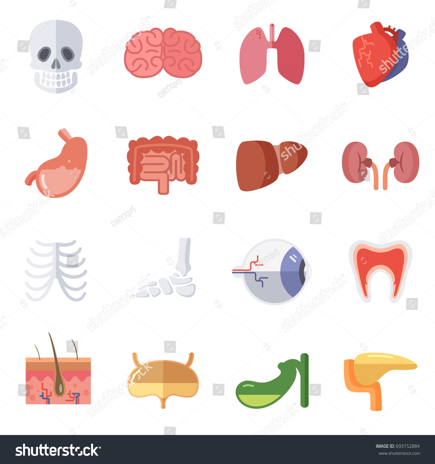 Male Female Anatomy Illustration Set Human Stock Illustration