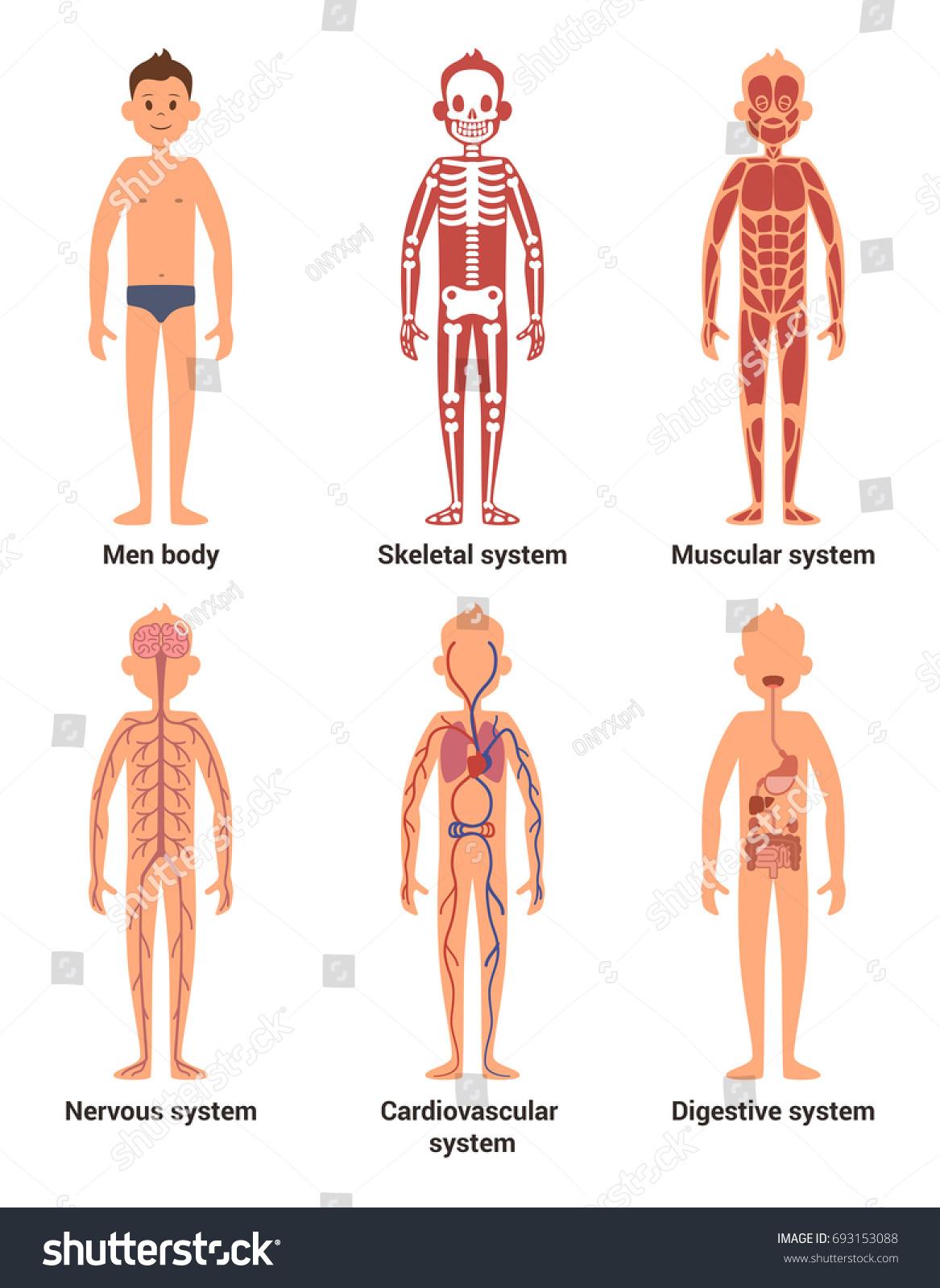 Body Anatomy Men Nerves Muscular Systems Stock Illustration