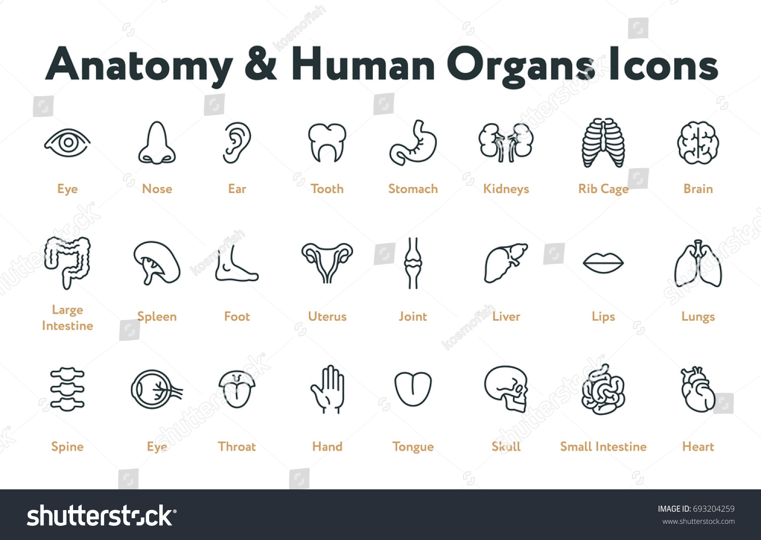 Anatomy Human Body Organs Biology Minimal Stock Vector Royalty Free