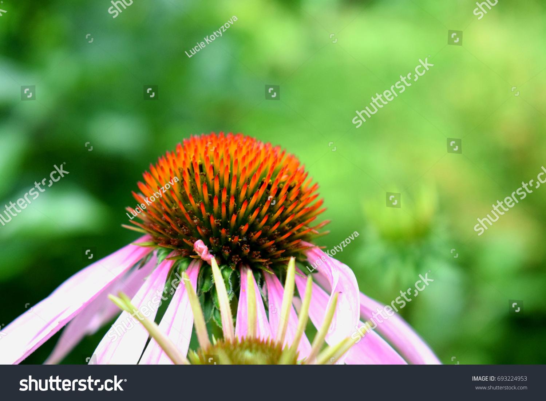 Pink Flower Close Up Coneflower Ez Canvas