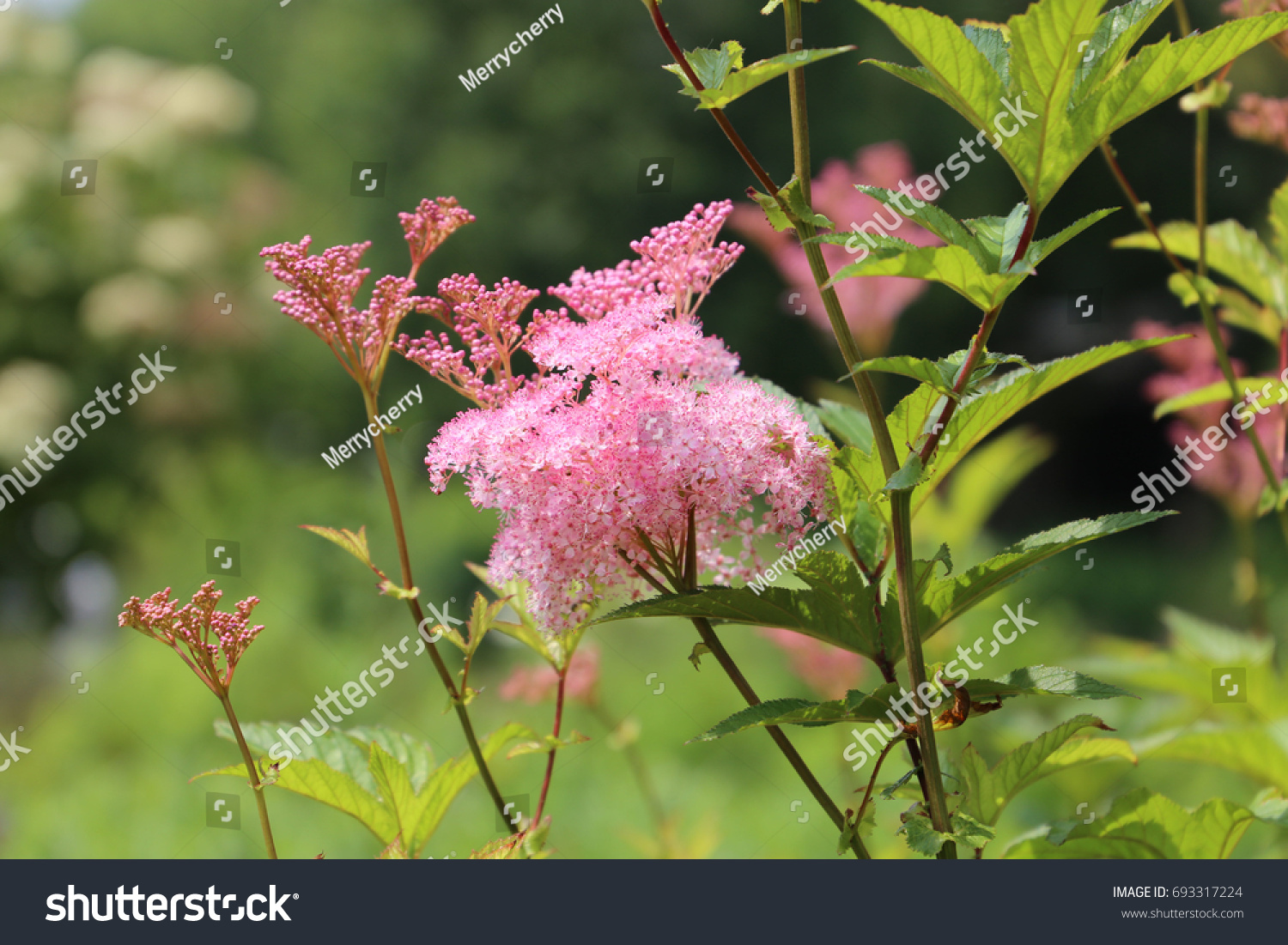 Cluster Tiny Pink Pretty Flowers Blooming Stock Photo Edit Now