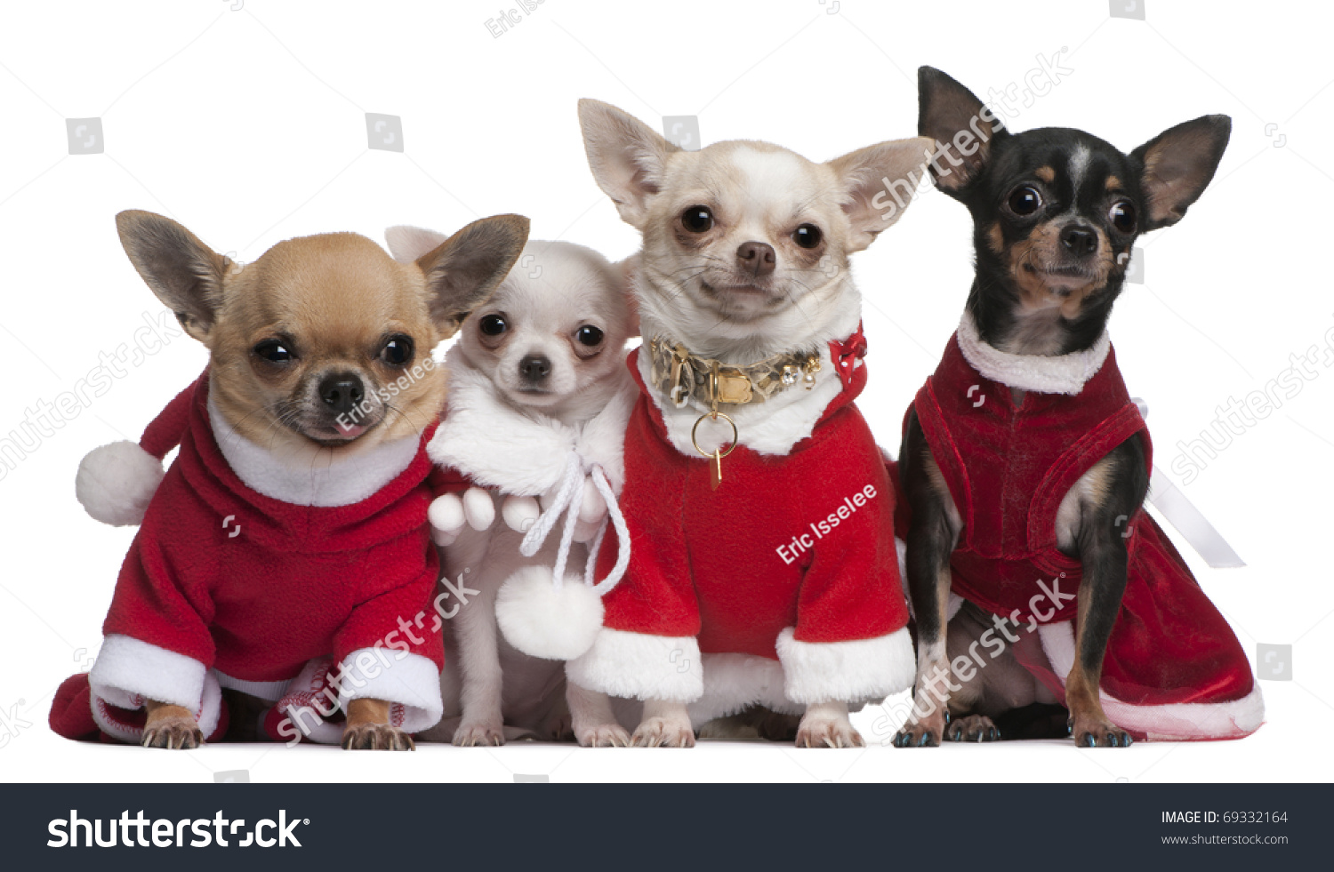 Chihuahuas Dressed Santa Outfits Christmas Front Stock