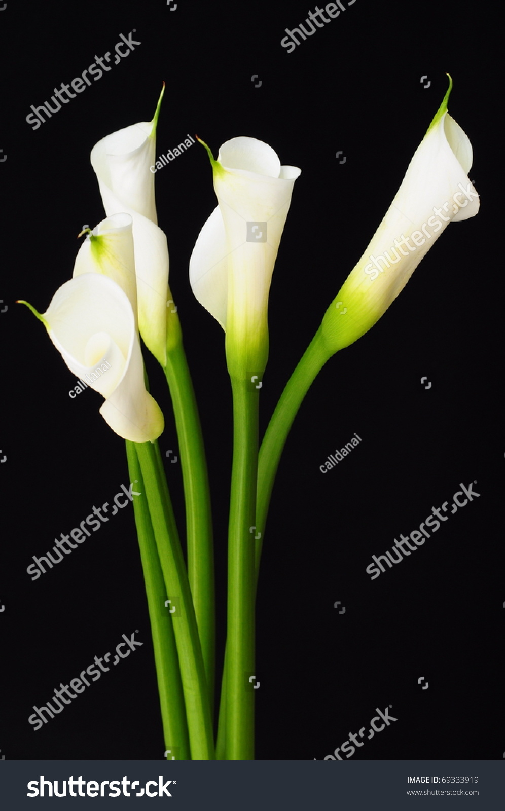 Beautiful white calla lily flower stock photo 69333919 shutterstock beautiful white calla lily flower izmirmasajfo Image collections