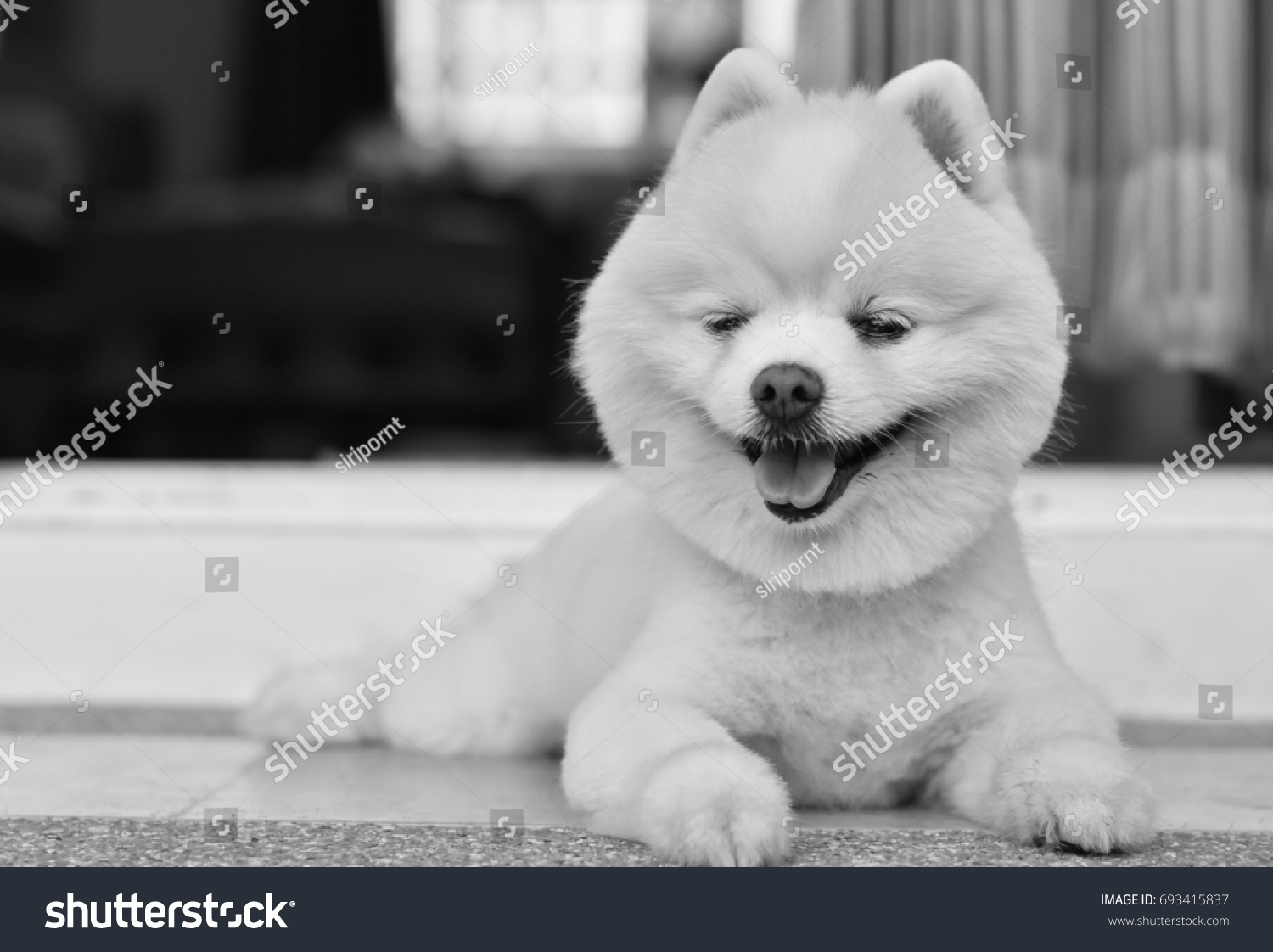 White Pomeranian Dog Breeds Cute Haircut Stock Photo Edit Now