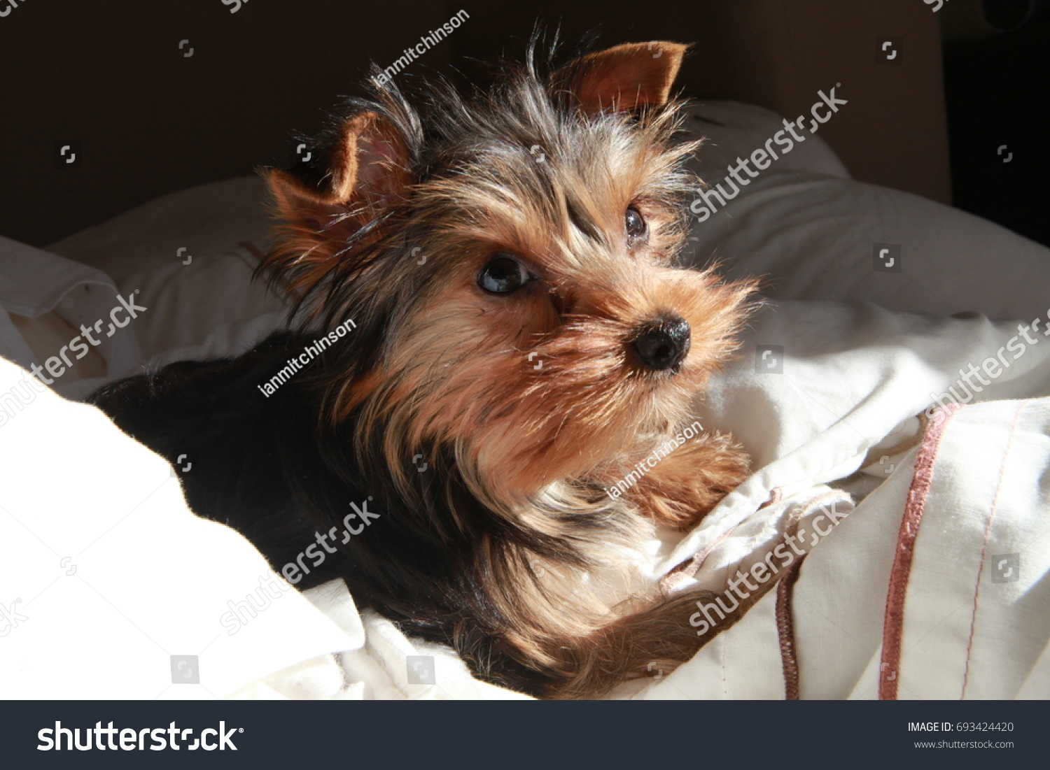 Young Male Yorkshire Terrier Yorkie Puppy Stock Photo Edit Now