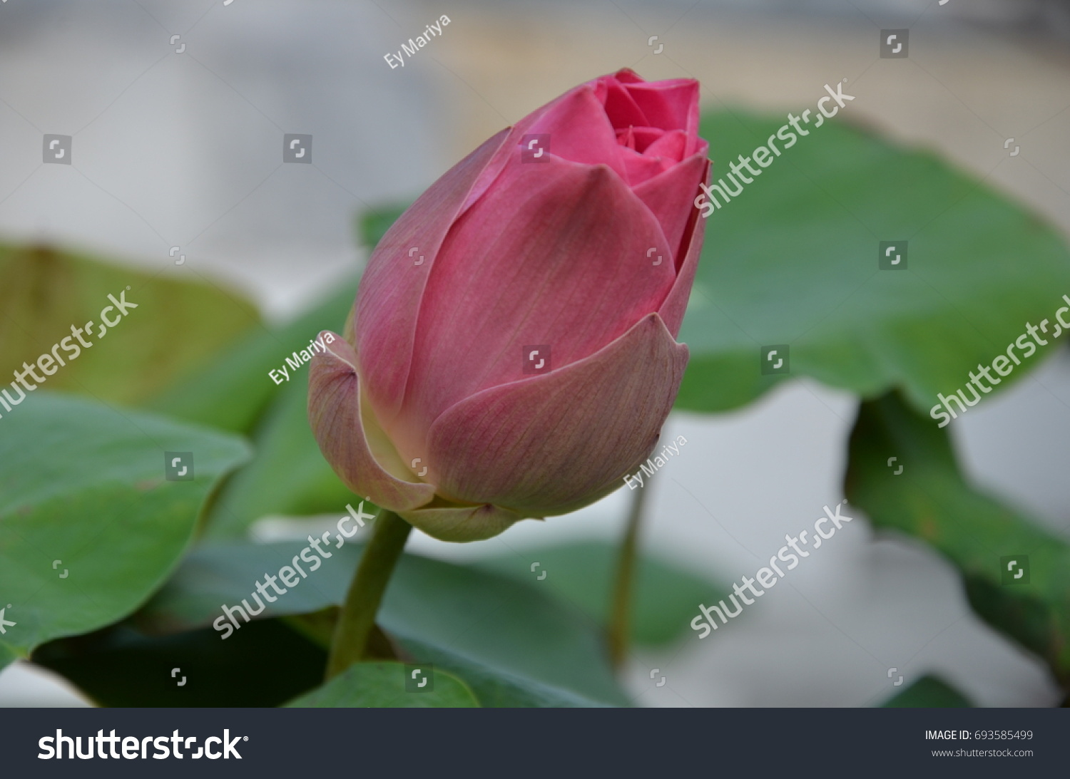 Closed Lotus Flower Stock Photo Royalty Free 693585499 Shutterstock