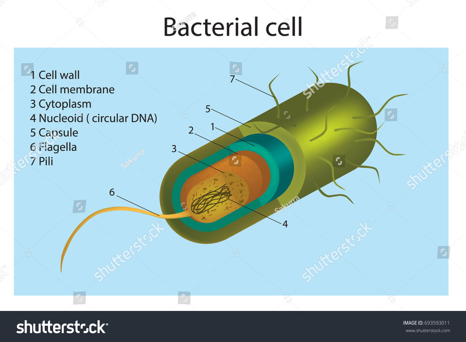 Bacteria Cell Structure Gram Stock Vector Royalty 3d Plant Diagram Neuron Nerve Prokaryotic Of A Positive Bacterium