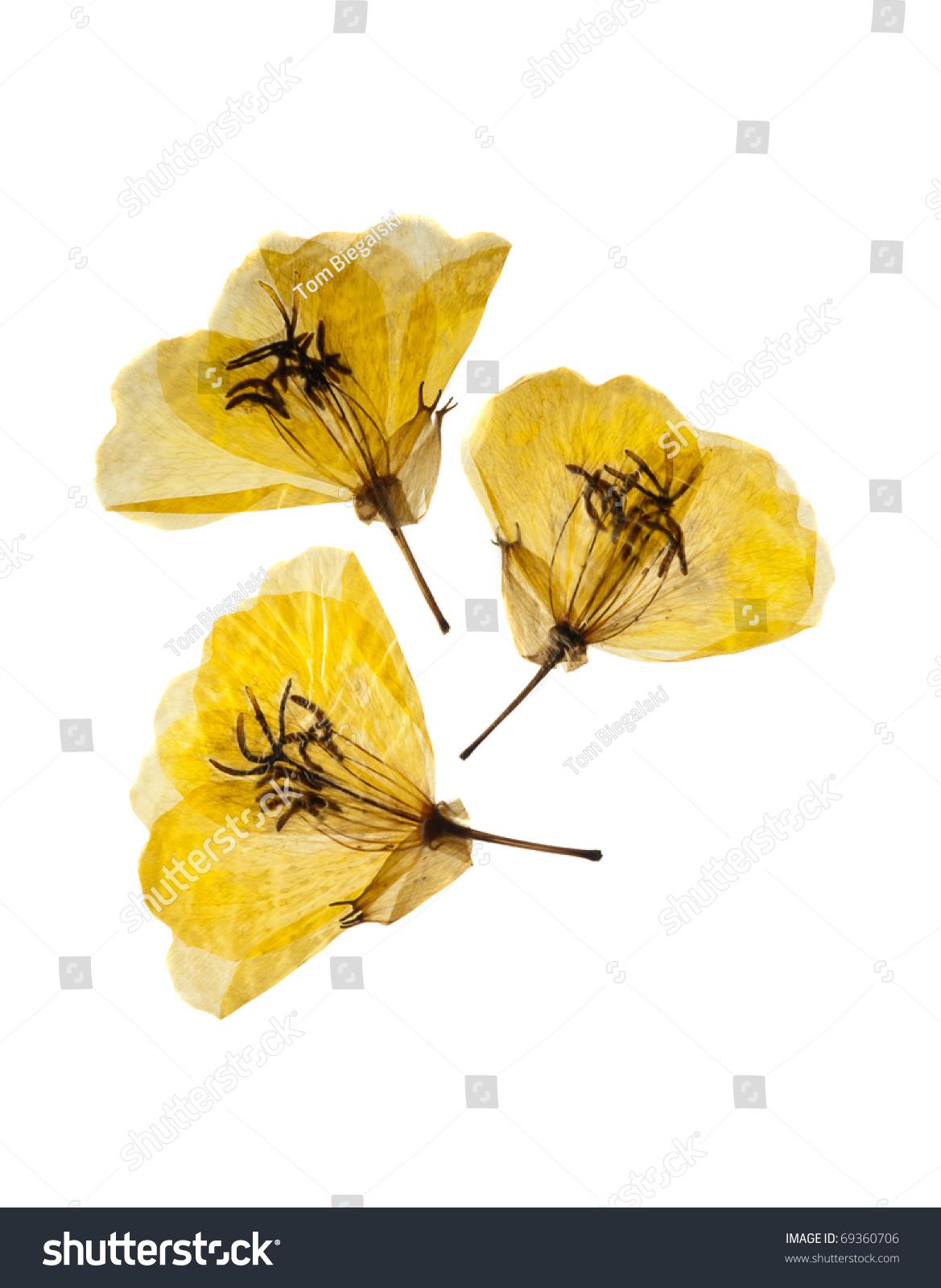 Three Dried Pressed Yellow Primrose Flowers Stock Photo Edit Now