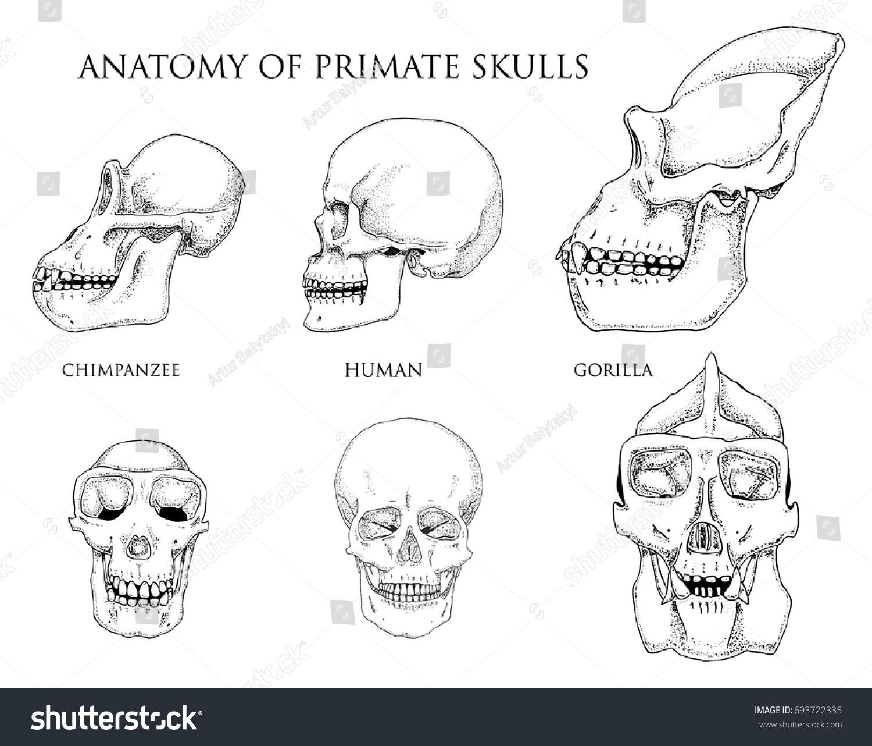 Human Chimpanzee Gorilla Biology Anatomy Illustration Stock Vector ...