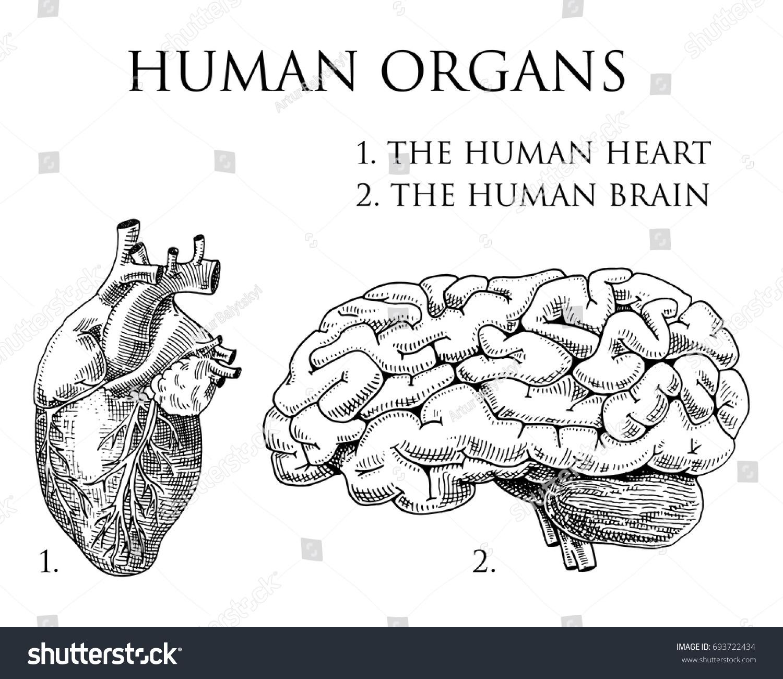 Human Biology Organs Anatomy Illustration Engraved Stock Vector