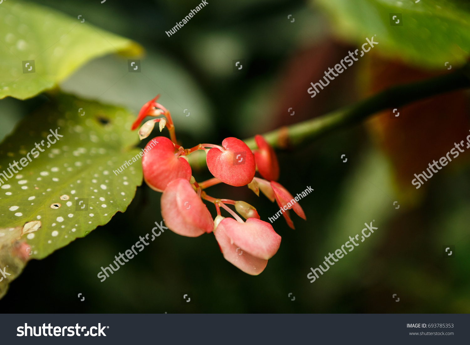 Rare exotic tropical pink flowers grow stock photo edit now rare exotic tropical pink flowers grow on green background in greenhouseautiful flower growing in izmirmasajfo
