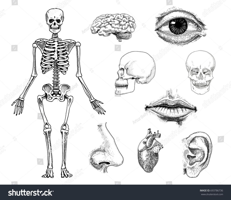 Human Biology Anatomy Illustration Engraved Hand Stock Vector ...