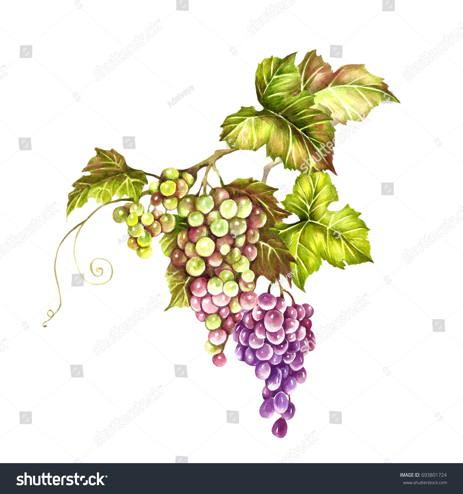 bunch grapes hand draw watercolor illustration stock illustration