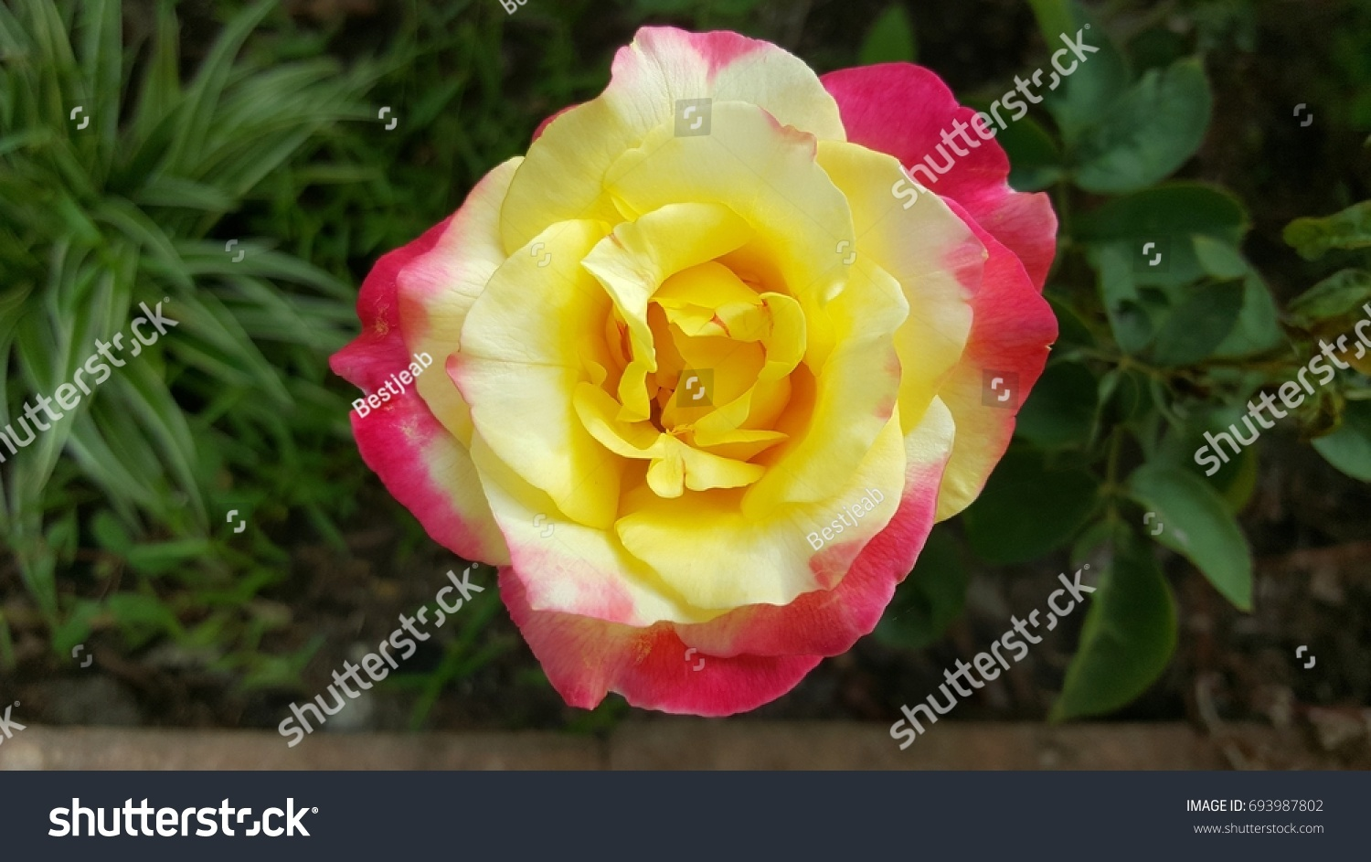 Beautiful Pink And Yellow Rose Flower Ez Canvas