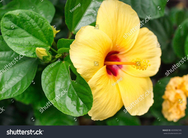 Hibiscus yellow flower ez canvas id 693996745 izmirmasajfo