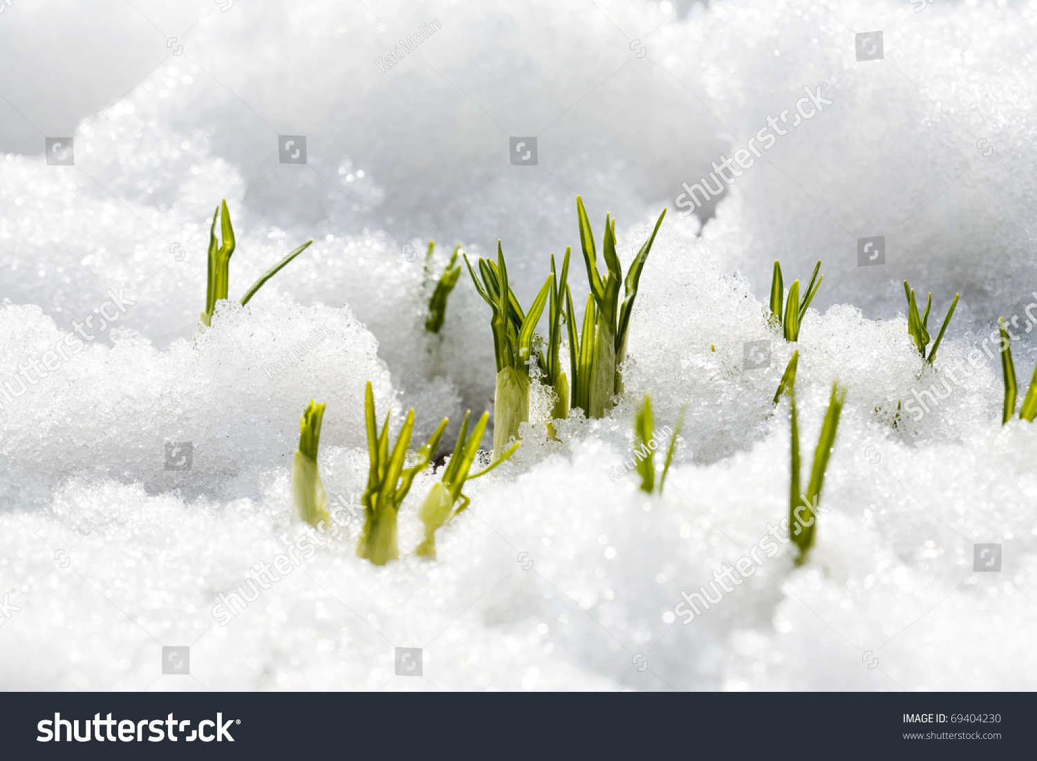 First Flowers Spring Growing Through Snow Stock Photo Edit Now