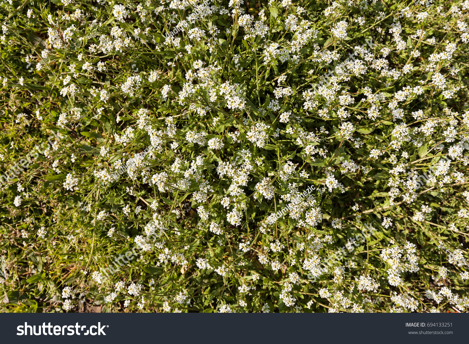 Kinds Small White Flowers Meadow Note Stock Photo Edit Now