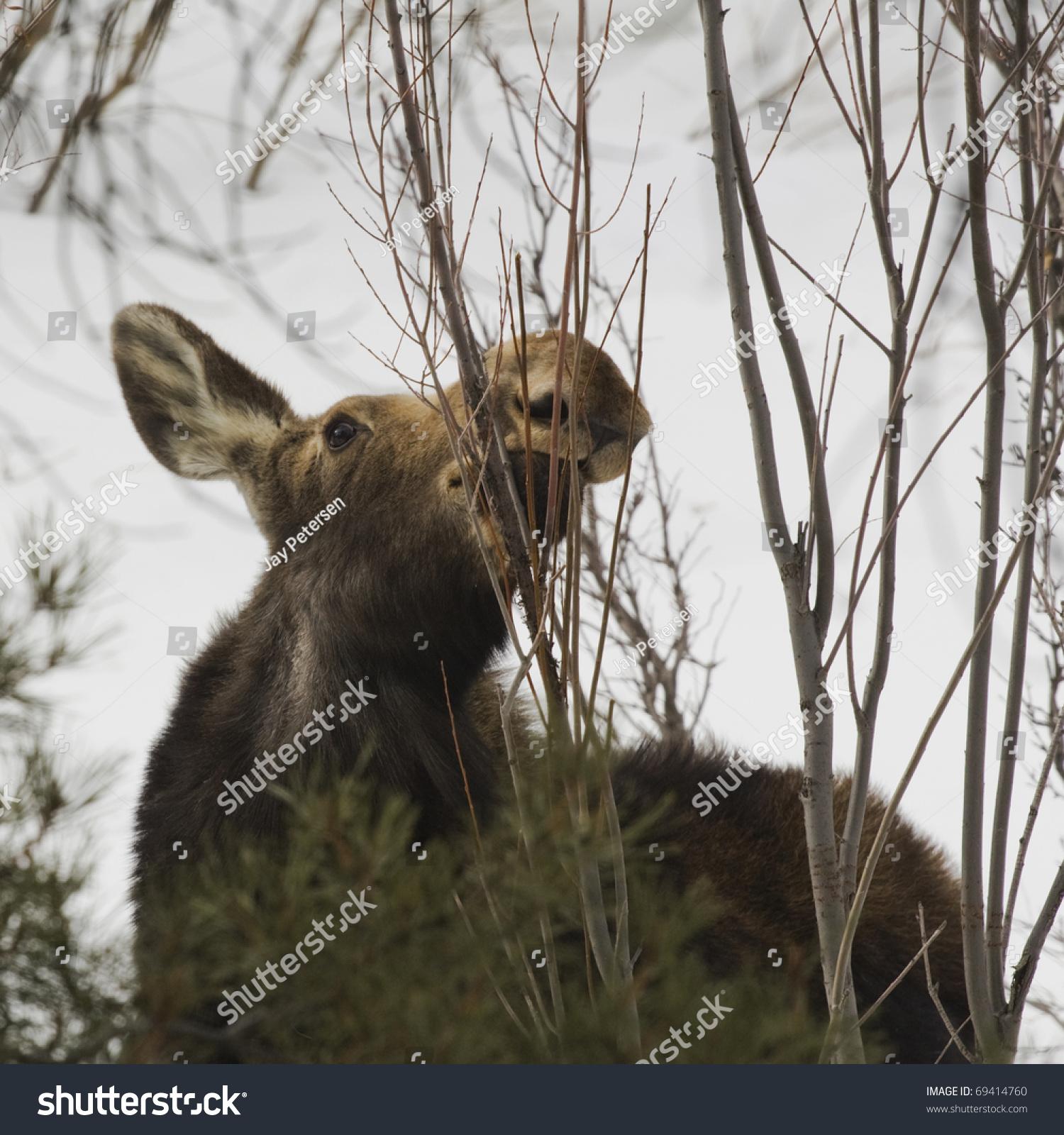 Moose Near Jackson Hole Wyoming. Stock Photo 69414760