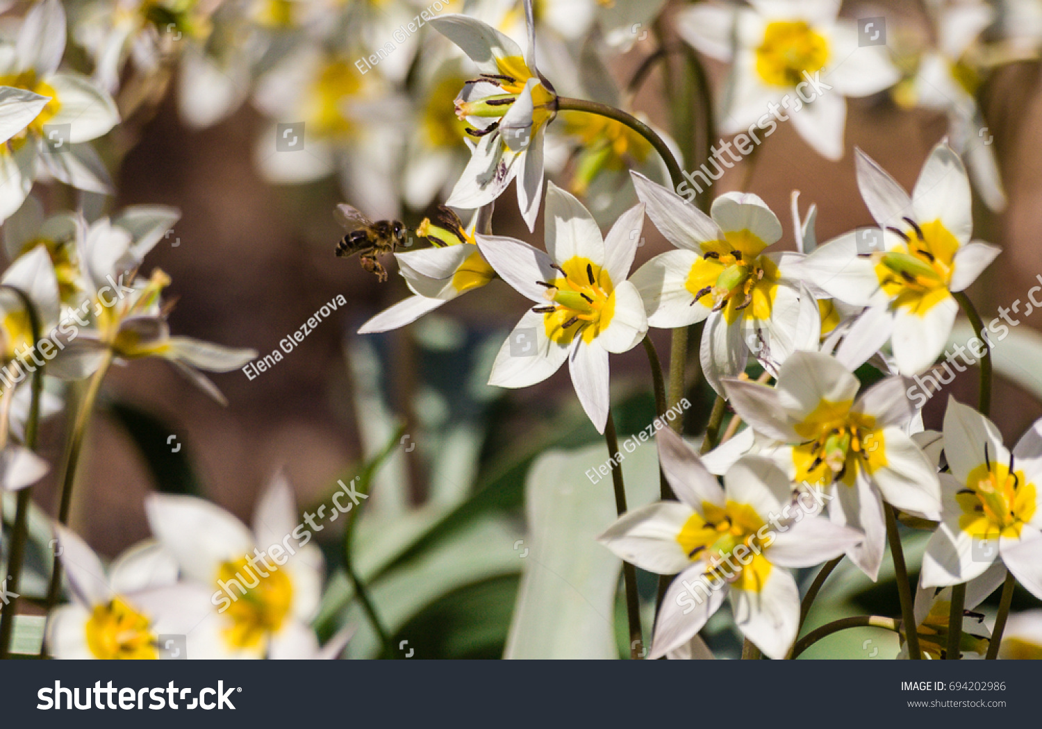 Small White Flowers Six Petals Yellow Stock Photo Edit Now