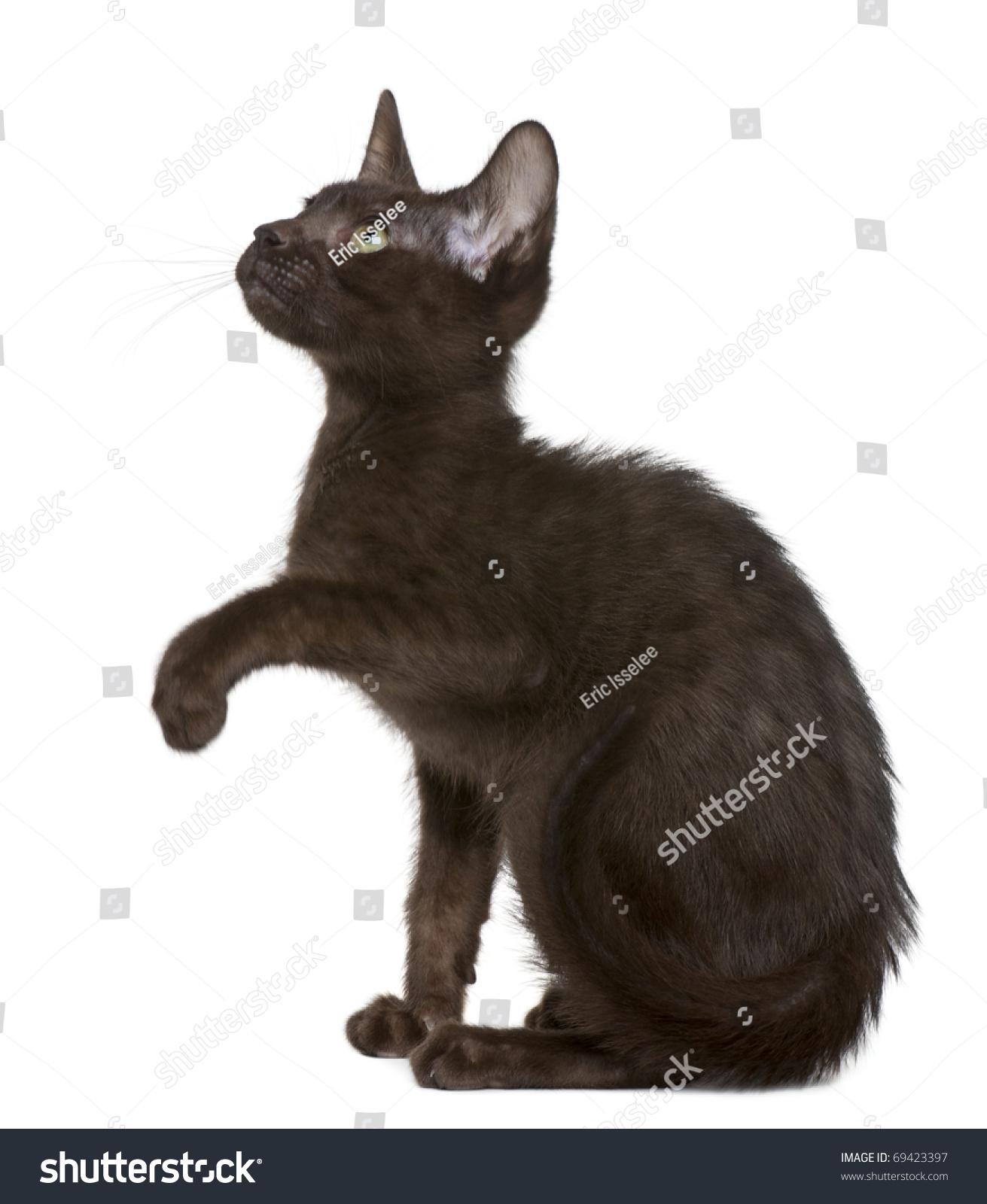 Havana Brown Kitten 15 Weeks Old Stock Shutterstock