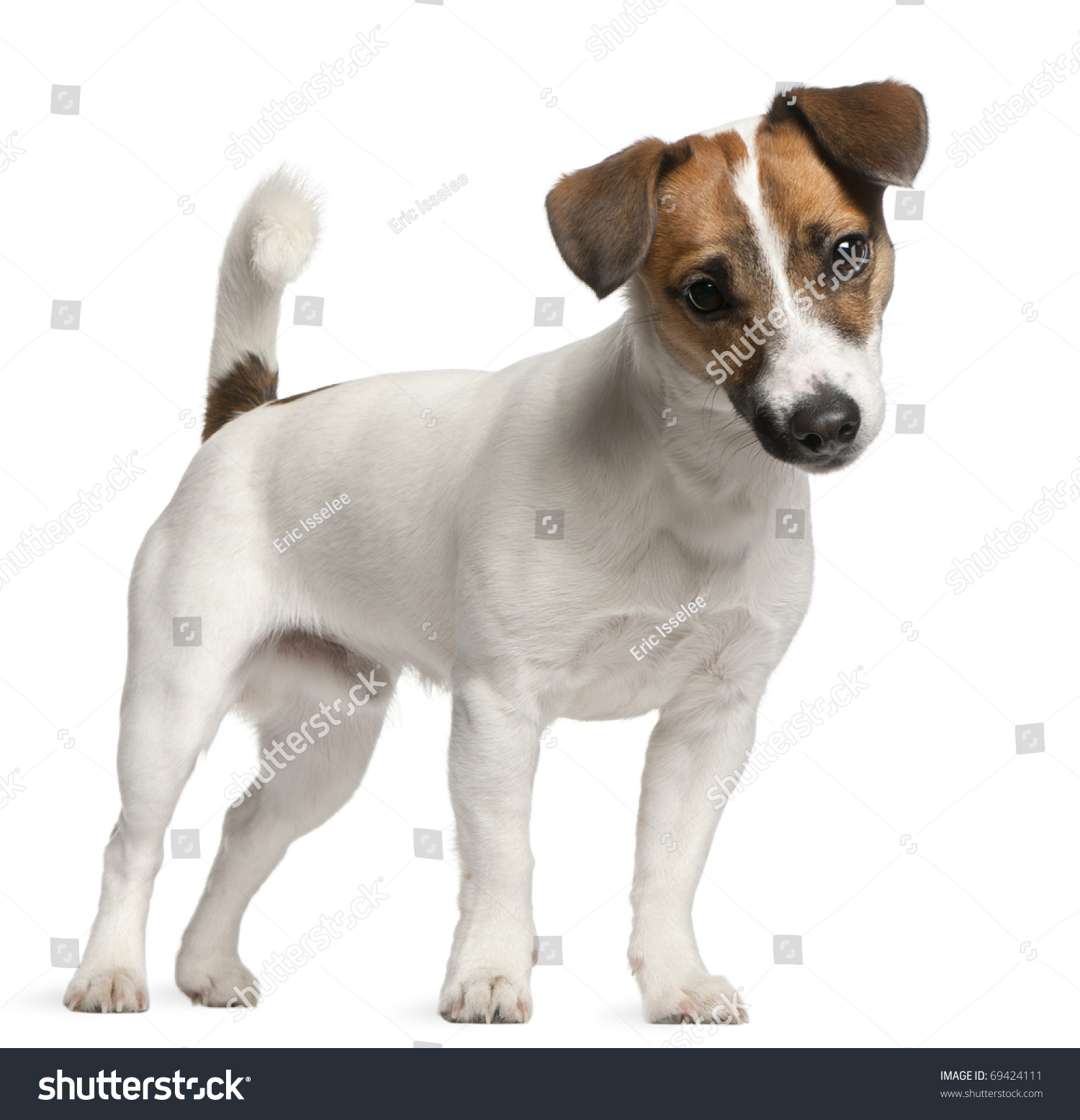 Jack Russell Terrier Puppy 7 Months Stock Photo Edit Now 69424111