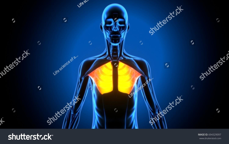3 D Illustration Pectoral Muscle Stock Illustration 694329097 ...