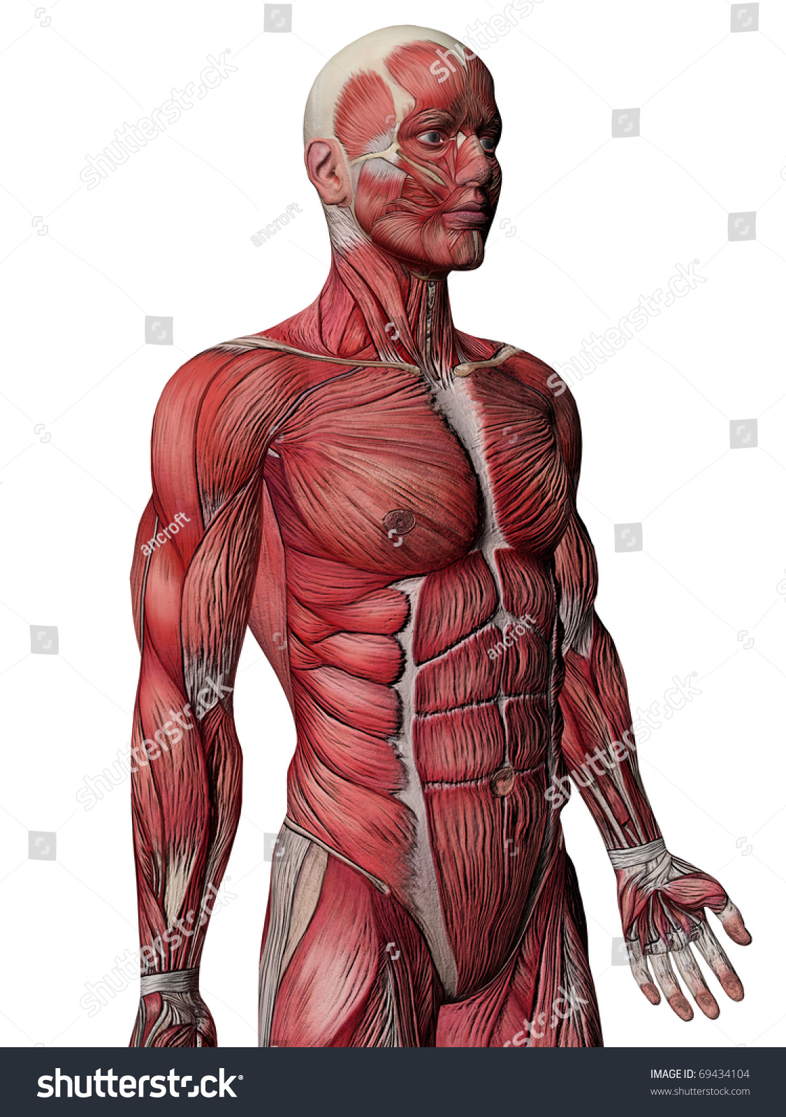 Human Body Muscles Anatomy Stock Illustration 69434104 Shutterstock