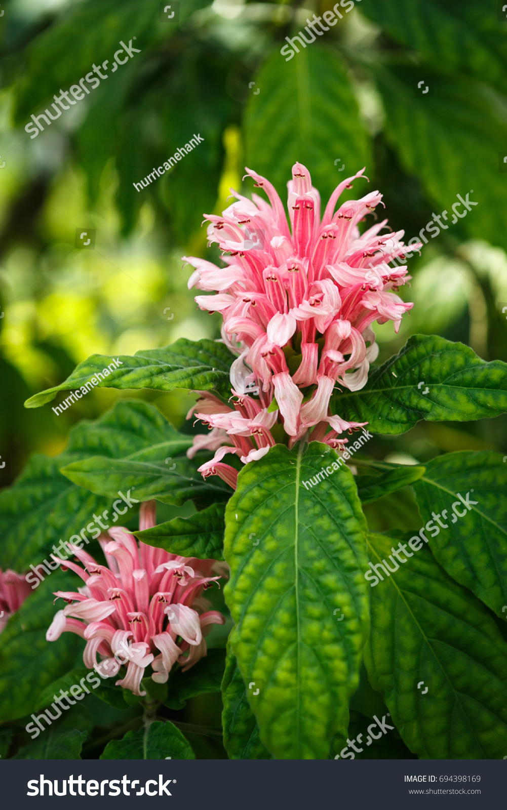 Beautiful acanthaceae flowers cultivated botanical garden exotic beautiful acanthaceae flowers cultivated in botanical gardenexotic plants grow in greenhouserare pink izmirmasajfo