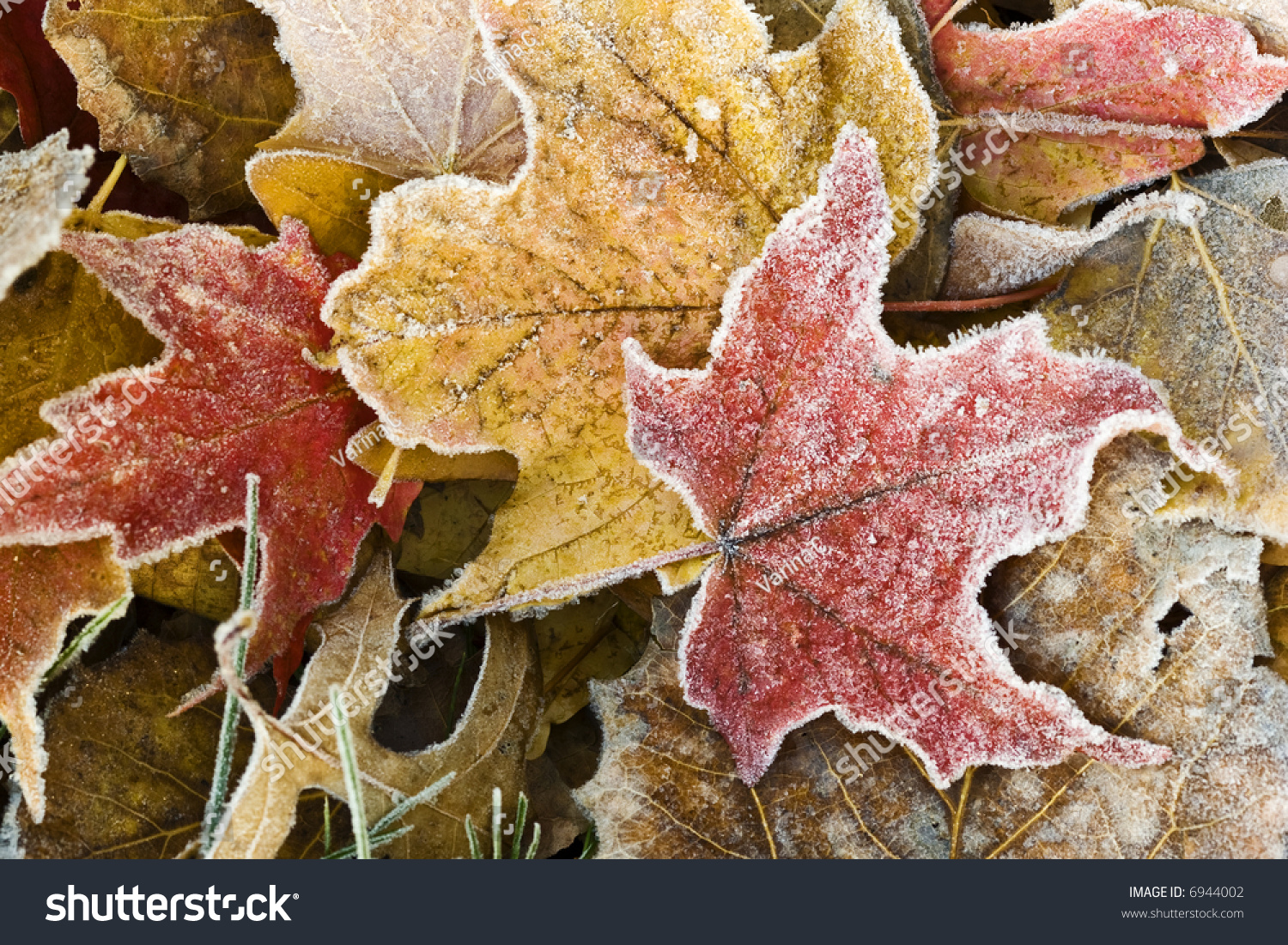 Brightly Colored Autumn Leaves With Dusting Of Frost ...