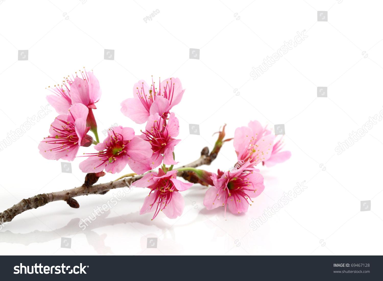 cherry blossom sakura flower isolated on stock photo