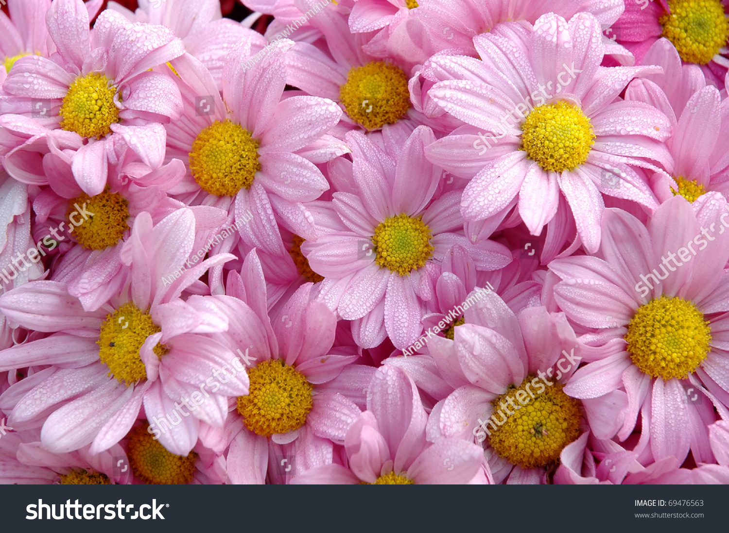 Pink Color Fresh Daisy Flower Stock Photo Edit Now 69476563