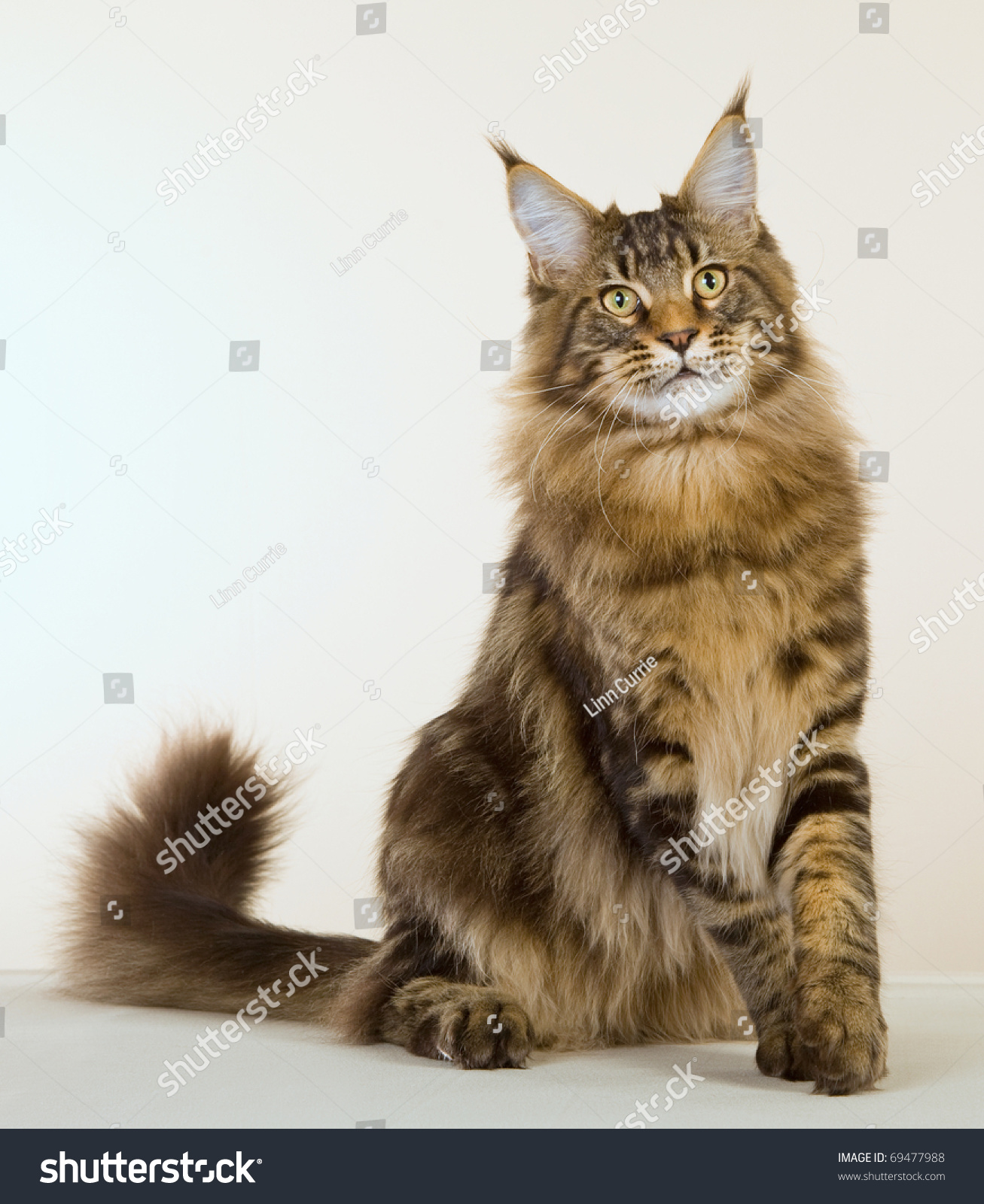 Brown Maine Coon Cat On Off Stock Photo 69477988 ...