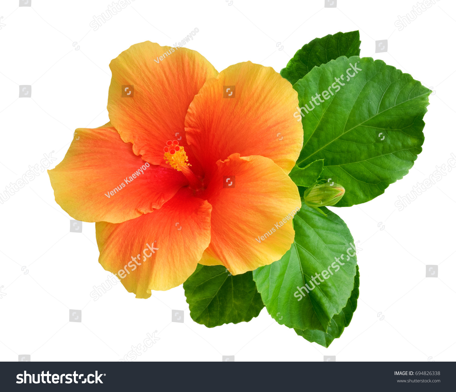 Orange Color Hibiscus Flower Bud Leaves Stock Photo Edit Now