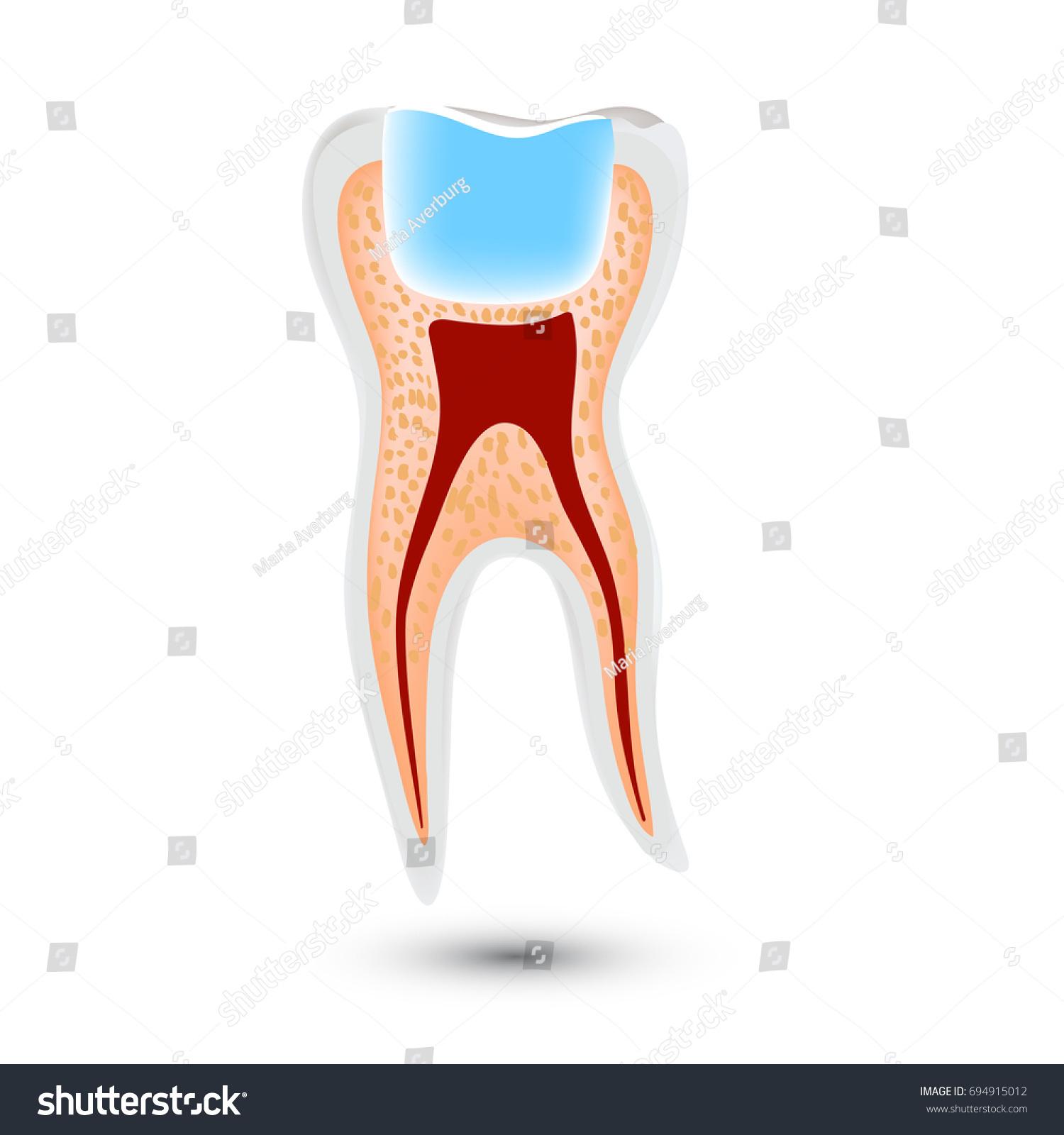 Realistic Teeth Anatomy Illustration Isolated On Stock Illustration ...