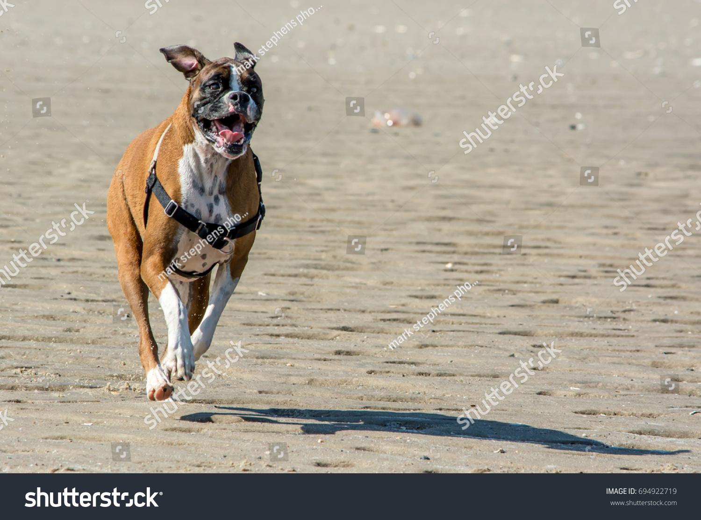 stock-photo-happy-boxer-running-on-the-b