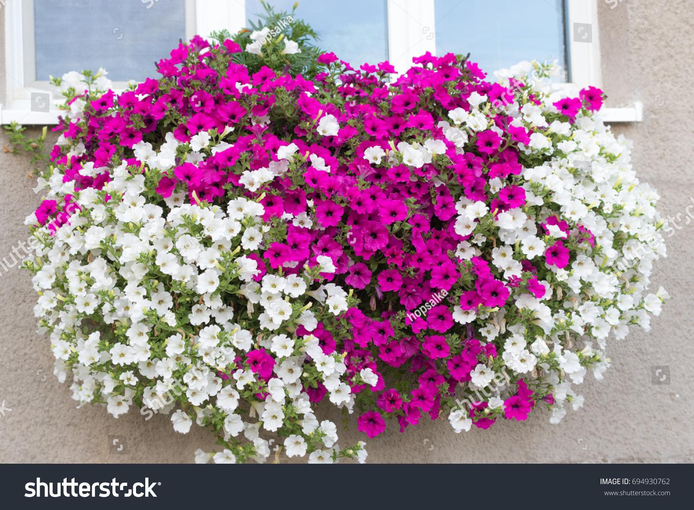 Wall Mounted Hanging Basket Trailing Vibrant Stock Photo Royalty