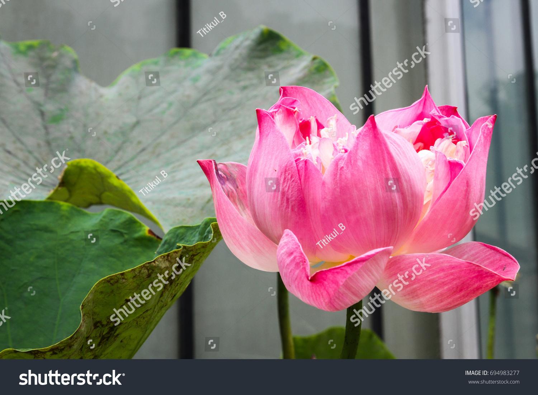 Beautiful Lotus Flower Pond Nelumbo Nucifera Stock Photo Edit Now
