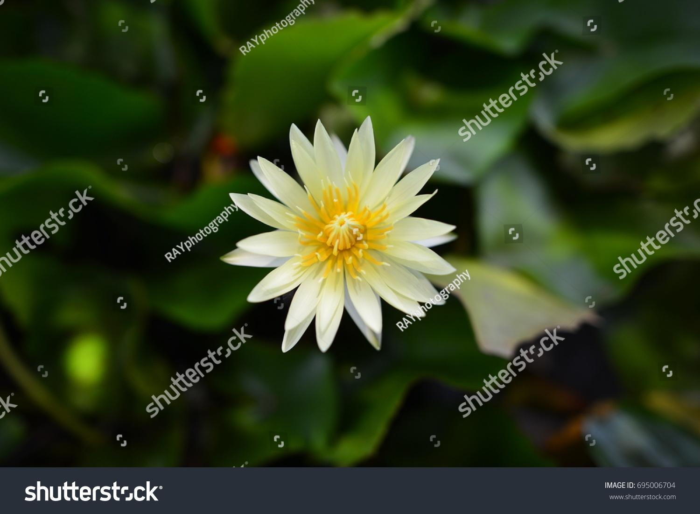Yellow Lotus Flower Background Stock Photo Royalty Free 695006704