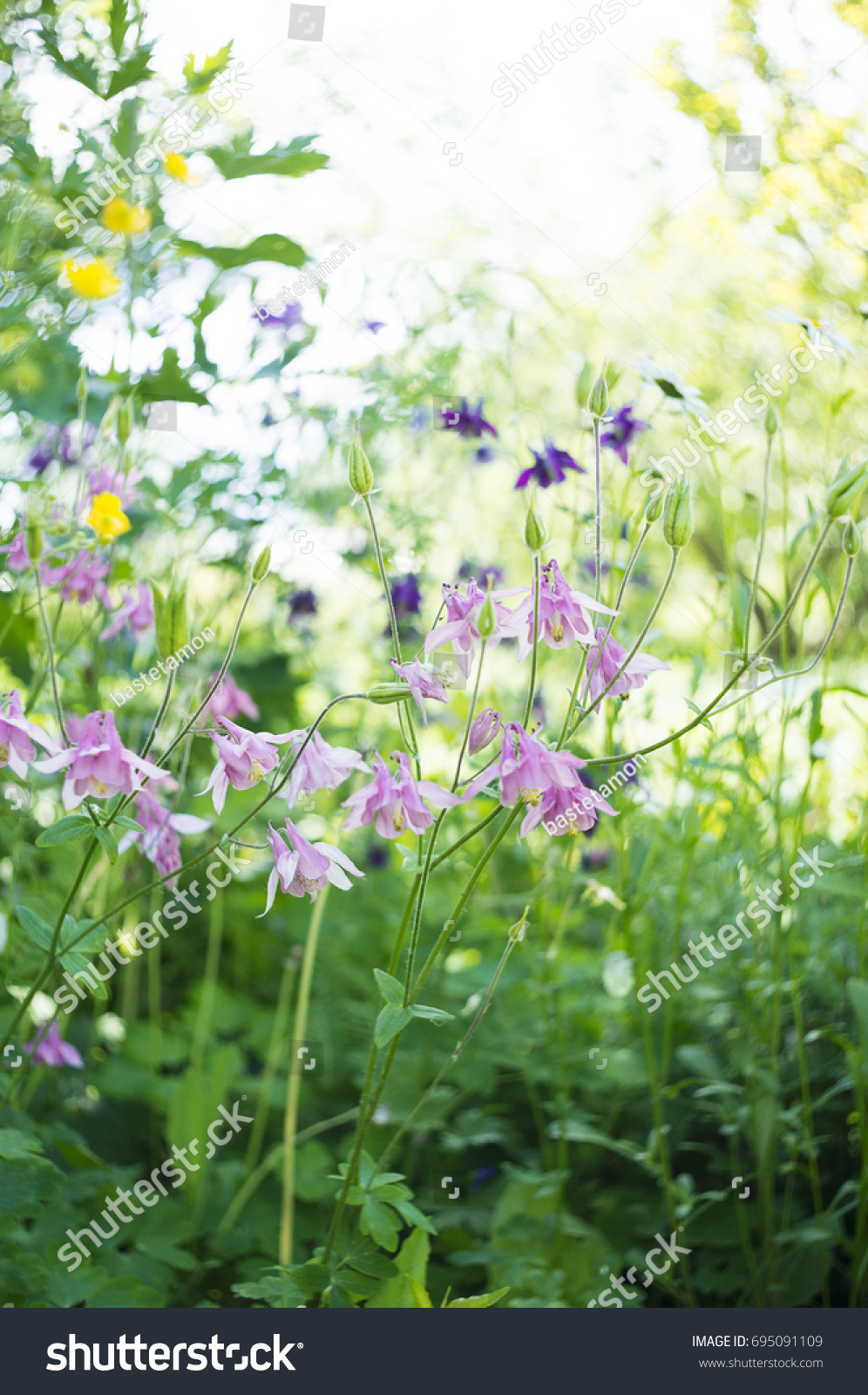 Photo Pink Flowers Garden Common Names Stock Photo Safe To Use