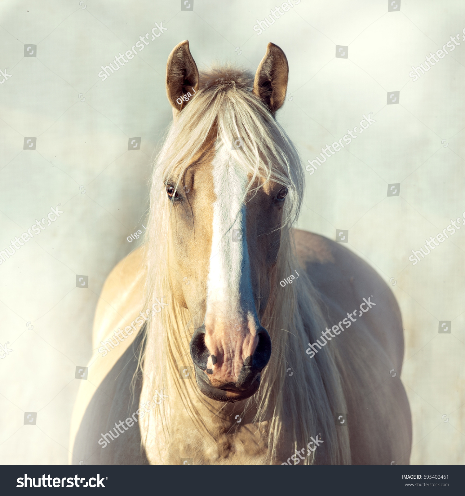 Palomino Draft Horse Portrait On Light Stock Photo Edit Now 695402461