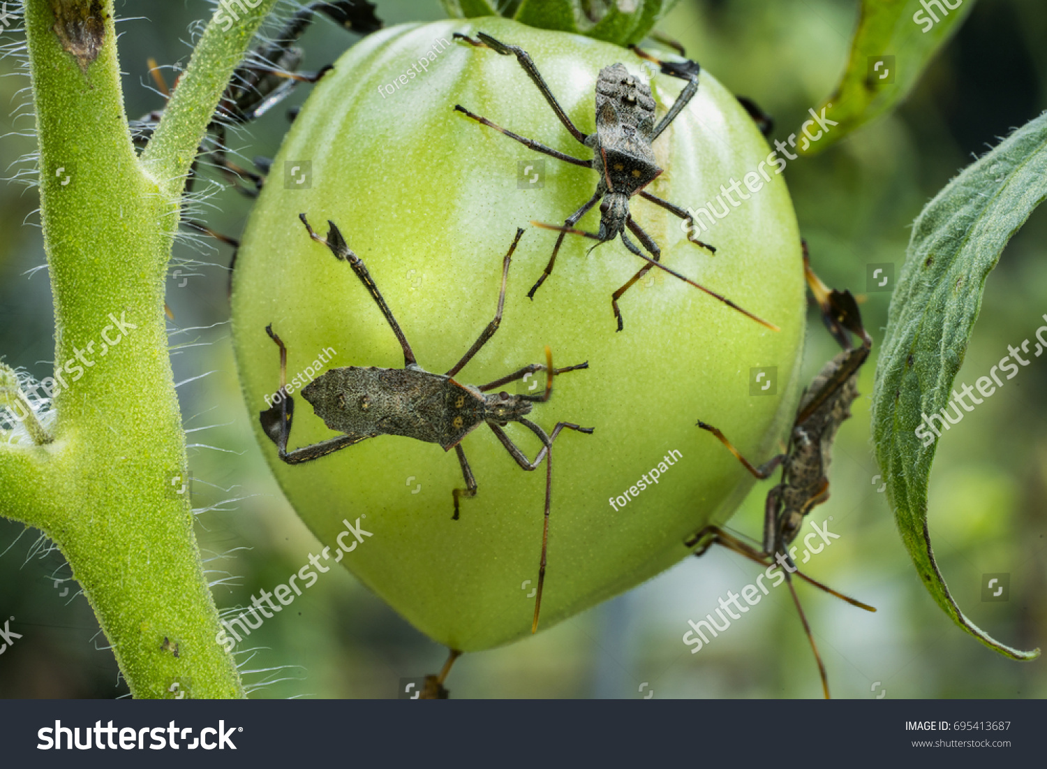 Leaf Footed Bug Called Stink Bug Stock Photo 695413687 - Shutterstock