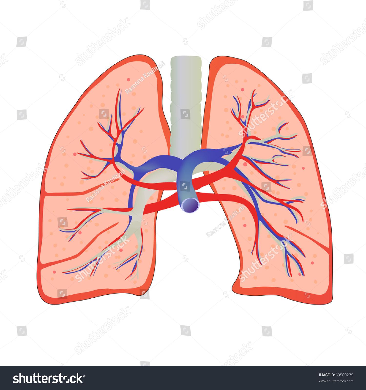 vector human lungs bronchial system stock vector 69560275, Cephalic Vein