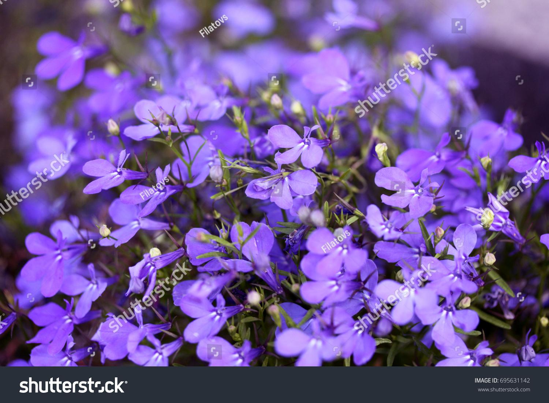 Night violets. Mattiola flower - photo 64