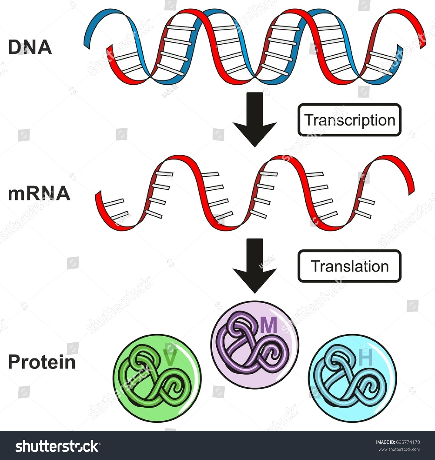 Central dogma gene expression infographic diagram em ilustrao central dogma of gene expression infographic diagram showing the process of transcription and translation from dna ccuart Gallery