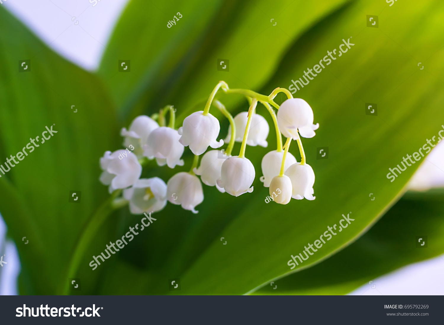 Blossoming lily valley lilyofthevalley convallaria majalis spring blossoming lily of the valley lily of the valley convallaria majalis izmirmasajfo