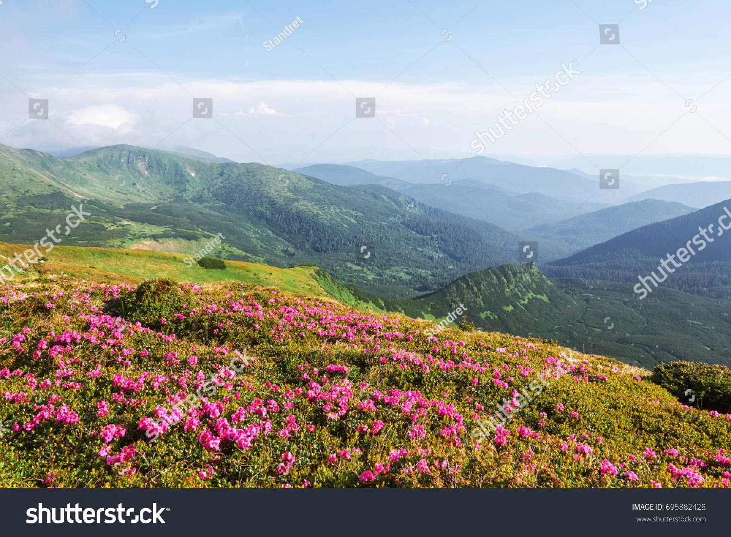 Rhododendrons Bloom In A Beautiful Location In The Mountains