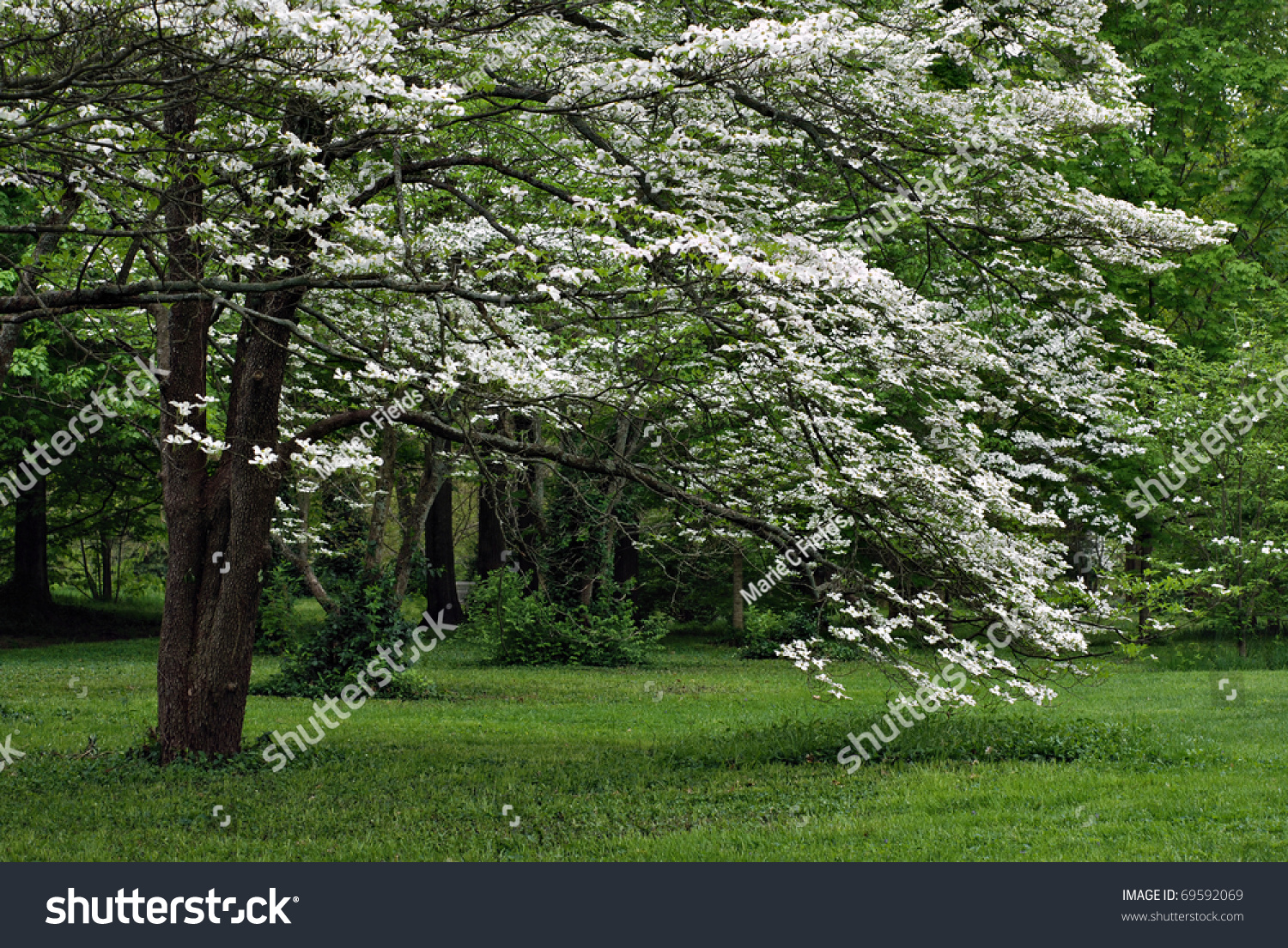 Mature White Flowering Dogwood Tree Full Stock Photo 69592069 ...