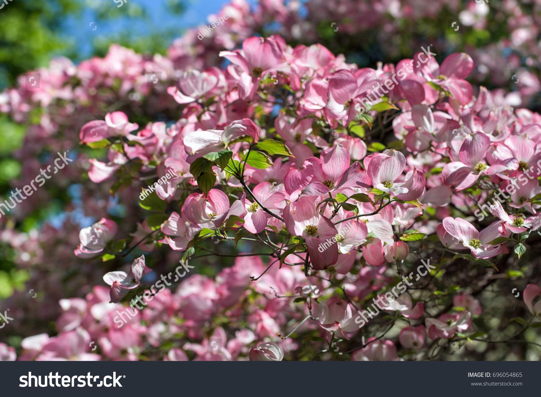 Pink Flowering Dogwood Or Cornus Florida Rubra Blooming In Spring